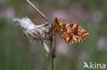 Veenbesparelmoervlinder (Boloria aquilonaris)