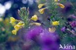 Teunisbloem (Oenothera tetragona)