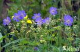 Beemdooievaarsbek (Geranium pratense)