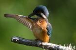 IJsvogel (Alcedo atthis)