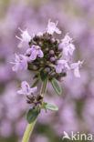 Grote tijm (Thymus pulegioides)
