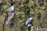 Drieteenmeeuw (Rissa tridactyla)