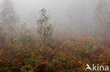 Eucalypthus (Eucalyptus globulus)