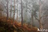Eucalyptus (Eucalyptus diversicolor)