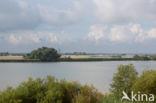 Amandelwilg (Salix triandra)