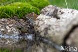 woelmuis (Arvicolinae)