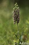 Brede wespenorchis (Epipactis helleborine)