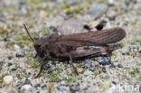 Klappersprinkhaan (Psophus stridulus)