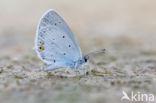Staartblauwtje (Cupido argiades)