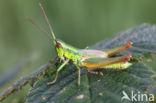 Kleine Goudsprinkhaan (Euthystira brachyptera)