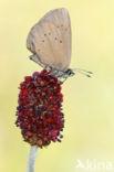 Donker pimpernelblauwtje (Maculinea nausithous)