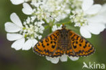 Tweekleurige parelmoervlinder (Melitaea didyma)