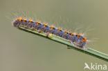 Hageheld (Lasiocampa quercus)