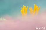 Kleverig koraalzwammetje (Calocera viscosa)