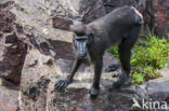Zwarte makaak