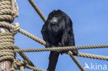 Zwarte brulaap (Alouatta caraya)