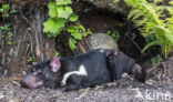 Tasmaanse duivel (Sarcophilus harrisii)