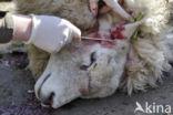 Texelaar schaap (Ovis aries)