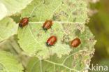 Groot populierenhaantje (Chrysomela populi)