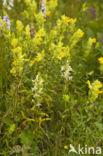 Welriekende nachtorchis (Platanthera bifolia)