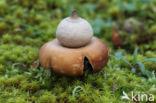 Viltige aardster (Geastrum saccatum)