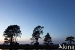 Den (Pinus)