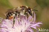 Kustbehangersbij (Megachile maritima)