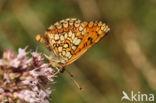 Bosparelmoervlinder (Melitaea athalia)
