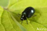 Veelkleurig wilgenhaantje (Plagiodera versicolora)
