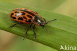 Twintigstippelig wilgenhaantje (Chrysomela vigintipunctata)
