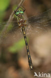 Bronslibel (Oxygastra curtisii)