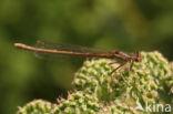 Oranje breedscheenjuffer (Platycnemis acutipennis)
