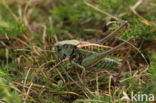 Wrattenbijter (Decticus verrucivorus)