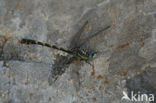Grote Tanglibel (Onychogomphus uncatus)
