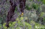 Wielewaal (Oriolus oriolus)