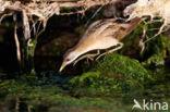 Klein Waterhoen (Porzana parva)