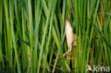 Woudaap (Ixobrychus minutus)