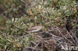 Grauwe Vliegenvanger (Muscicapa striata)
