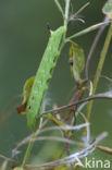 Groot avondrood (Deilephila elpenor)
