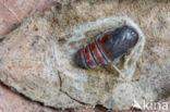 Donkere wapendrager (Clostera pigra)