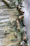 Ruwe berk (Betula pendula)