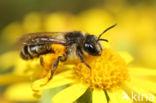 Kruiskruidzandbij (Andrena denticulata)