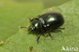 kortsprietelzenhaantje (Plagiosterna aenea)