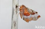 Halvemaanvlinder (Selenia tetralunaria)