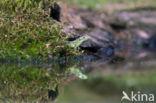 Zandhagedis (Lacerta agilis)