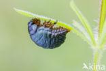 Reuzengoudhaan (Timarcha tenebricosa)
