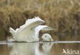 Grote Zilverreiger (Ardea alba)
