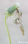 Lindepijlstaart (Mimas tiliae)