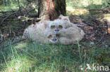 Oehoe (Bubo bubo)