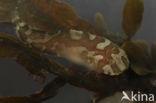Slakdolf (Liparis liparis)